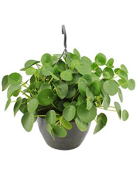 Pilea Peperomioides Pannenkoekenplant 40 cm hangplant