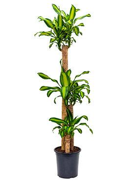 Dracaena Massangeana 170 cm (Drakenbloedboom)