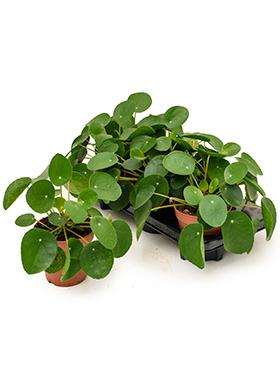Pilea (2x) Peperomioides Pannenkoekenplant 25 cm