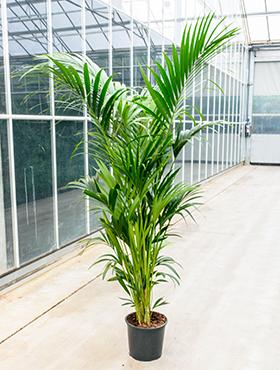 Kentia Palm 230 cm (Howea Forsteriana)