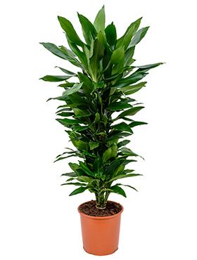 Dracaena Janet Lind 120 cm (Drakenbloedboom)