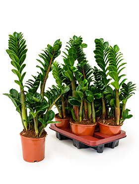 Zamioculcas Zenzi 45 cm. (Emerald Palm)