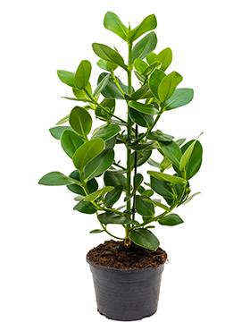 Clusia Rosea Princess 70 cm (Varkensboom)