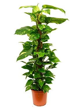 Scindapsus Aureus 110 cm (Epipremnum)