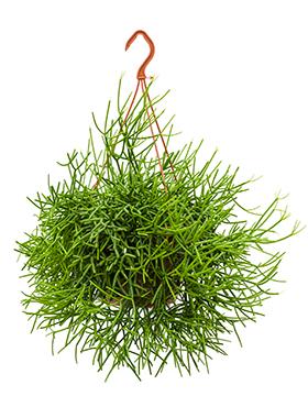 Rhipsalis Heteroclada hangplant 55 cm (Koraalcactus)