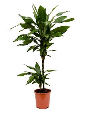 Dracaena Janet Lind 90 cm (Drakenbloedboom)
