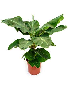 Musa Tropicana 85 cm (Bananen plant)