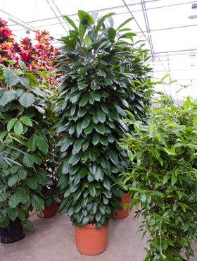 Ficus Cyathistipula 240cm (Afrikaanse Vijgenboom)