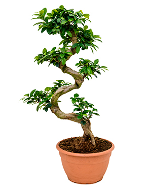 Ficus Microcarpa Compacta 75 cm (Bonsai boom)