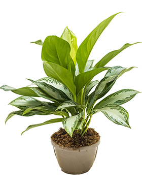 Aglaonema Silver Bay 65 cm. (Chinese Evergreen)