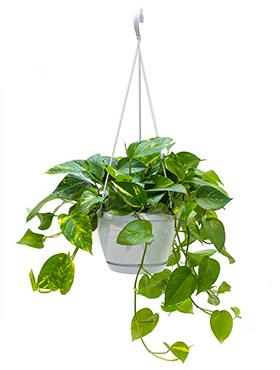 Scindapsus Aureus 50 cm hangplant (Epipremnum)
