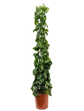 Scindapsus Pictus Trebie 160 cm (Epipremnum)