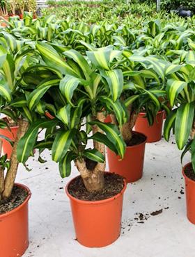 Dracaena Massangeana 80 cm (Drakenbloedboom)