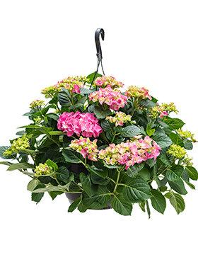 Hydrangea macrophylla hang roze. (Hortensia)