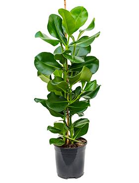 Clusia Rosea 90 cm (Varkensboom)