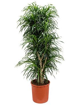 Dracaena Pleomele Anita 165 cm (Drakenbloedboom)