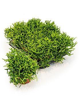 Rhipsalis Heteroclada 20 cm (Koraalcactus)