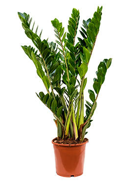 Zamioculcas Zamiifolia 80 cm. (Emerald Palm)