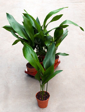 Aspidistra Elatior 65 cm (Kwartjesplant)