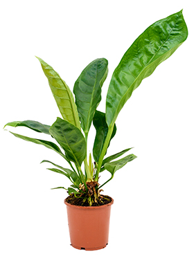 Anthurium Jungle King 70 cm