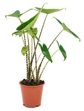 Alocasia Zebrina 75 cm (Olifantsoor)