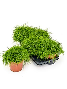 Rhipsalis Cassutha 22 cm (Koraalcactus)
