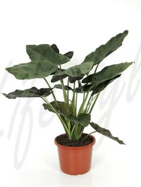 Alocasia Wentii 100 cm (Olifantsoor)