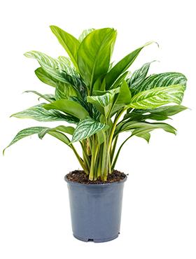 Aglaonema Stripes 80 cm. (Chinese Evergreen)