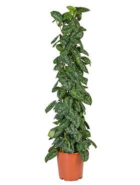 Scindapsus Pictus Trebie 110 cm (Epipremnum)