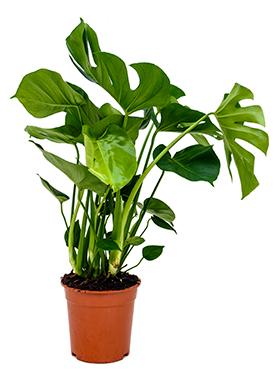 Philodendron Pertusem 70 cm (Gatenplant)