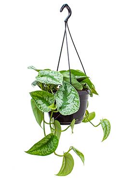 Scindapsus Pictus Trebie 45 cm hangplant (Epipremnum)