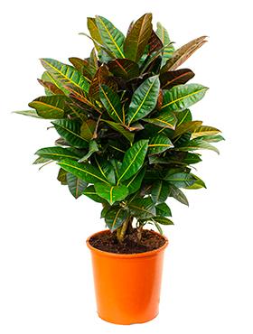 Croton Petra 80 cm