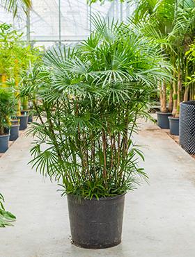 Rhapis Humilis 140 cm (Stokpalm)