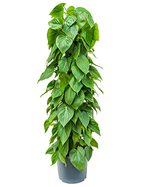 Philodendron Scandens 130 cm