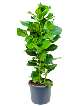 Clusia Rosea 120 cm (Varkensboom)