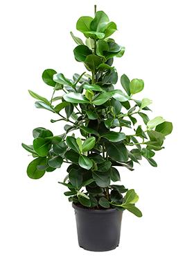 Clusia Rosea 140 cm (Varkensboom)