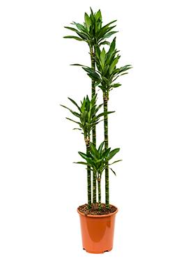 Dracaena Janet Lind 170 cm (Drakenbloedboom)