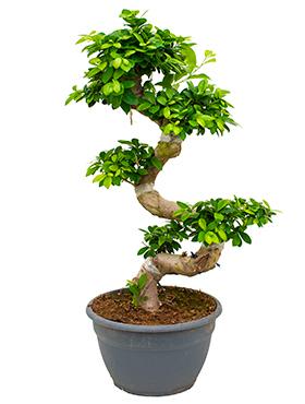 Ficus Microcarpa Compacta 110 cm (Bonsai boom)