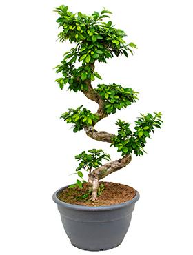 Ficus Microcarpa Compacta 125 cm (Bonsai boom)