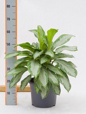 Aglaonema Silver Bay 50 cm. (Kamerplant)