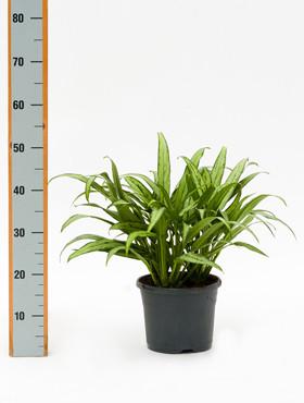 Aglaonema Cutlass 50 cm. (Kamerplant)