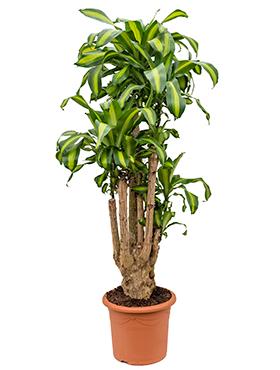 Dracaena Massangeana 180 cm (Drakenbloedboom)