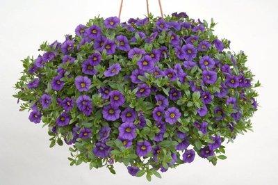 Mini Petunia - Calibrachoa Royal Blue