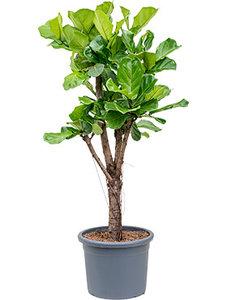 Ficus Lyrata (Tabaksplant) vertakt 160 cm