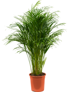Areca Palm 120 cm (Goudpalm)