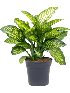 Dieffenbachia maroba 80 cm