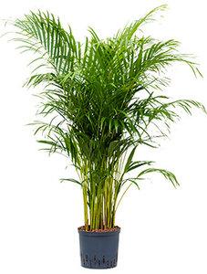 Areca Palm Dypsis 140 cm (Hydroplant)