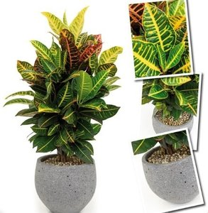 Croton Petra in pot Kevan Laterite Grey