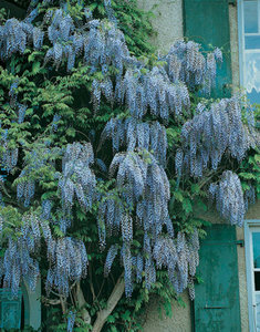 Wisteria sinensis (Blauweregen)