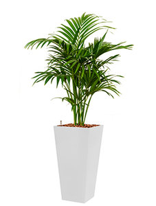 Kentia (howea) forsteriana incl pot Style Square wit